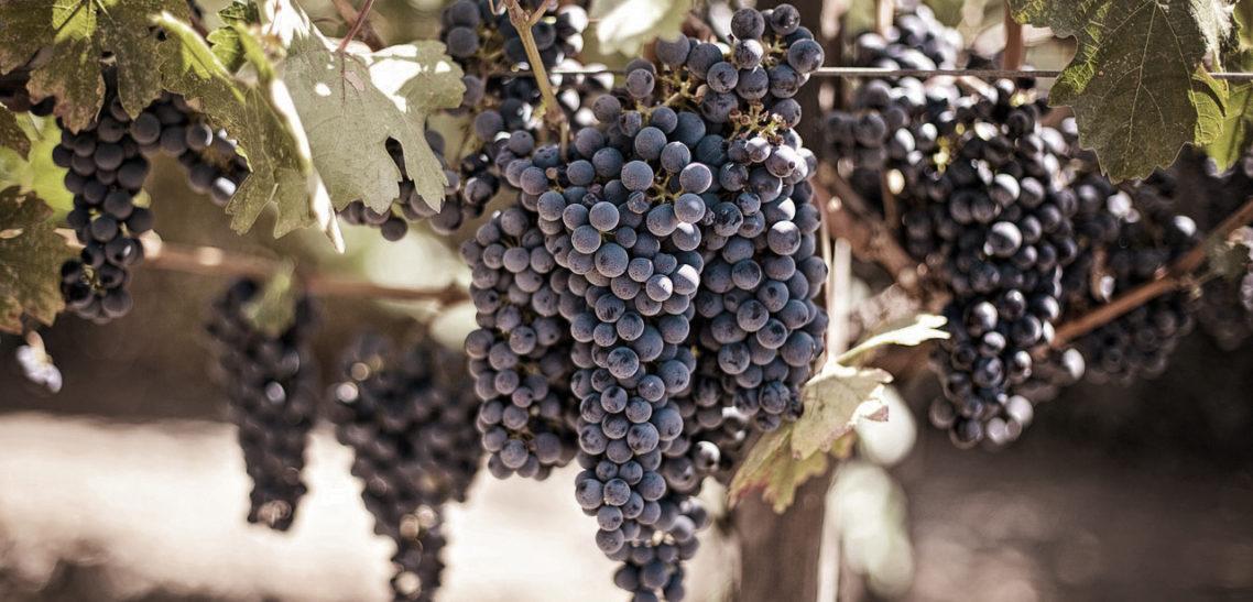 Descubré las variedades de uvas tradicionales de la Rioja