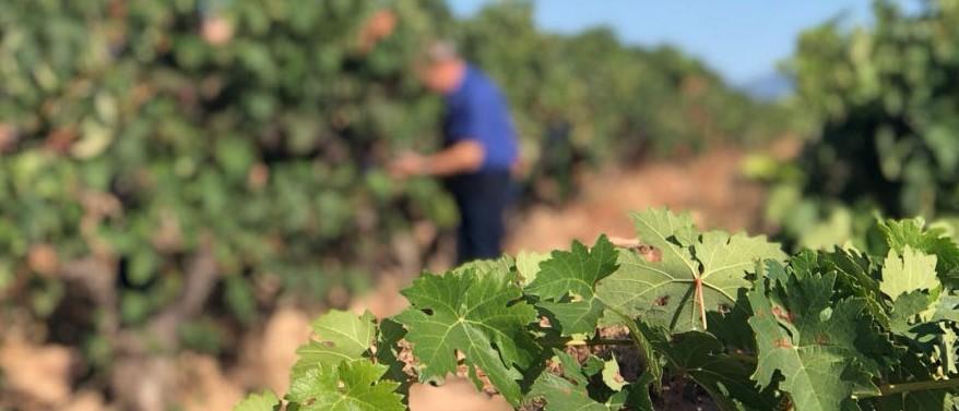 La vendimia en La Rioja comenzará en la segunda quincena de agosto.